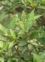 Tác dụng chữa bệnh của cây khổ sâm: trị đau dạ dày